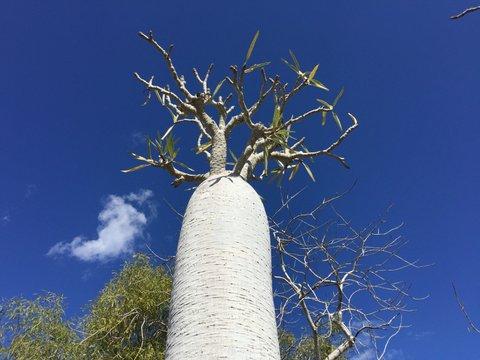 Madagascar - dinosaur tree